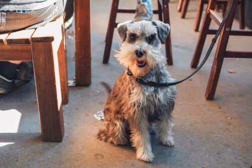 Köpeğinizle restorana gitmek