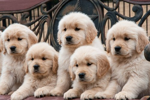 Neden Bu Kadar Çok Köpek Irkı Var?
