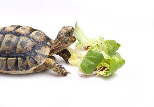 Bir Kaplumbağa Nasıl Beslenir?