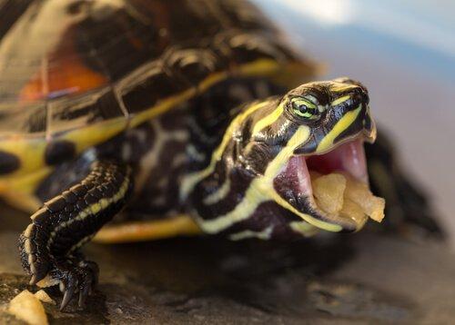 kaplumbağa nasıl beslenir