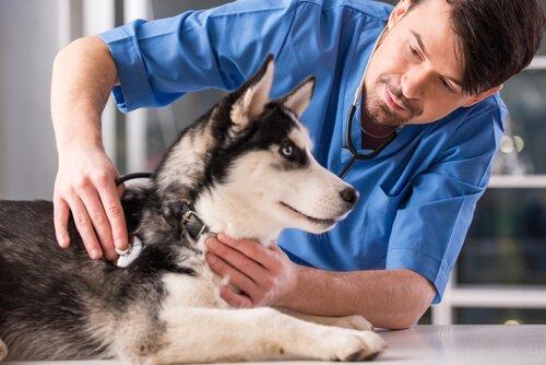 Köpeğinizi Kısırlaştırmanın Avantajları ve Dezavantajları