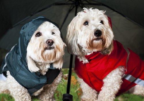 yağmurluk giymiş iki köpek