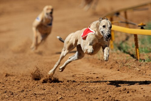 Arjantin'de Köpek Yarışları Yasaklandı