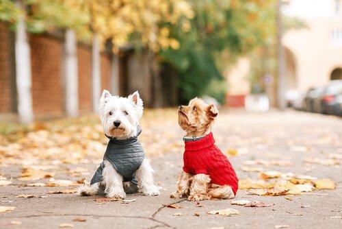 kıyafet giydirilmiş iki köpek