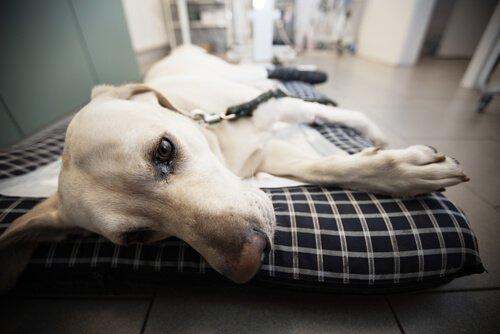 hasta yatan köpek
