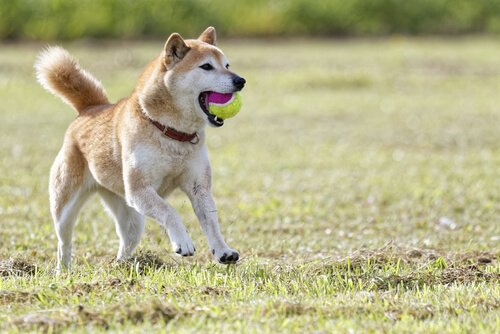 topla oynayan köpek