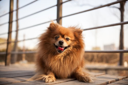 küçük köpek