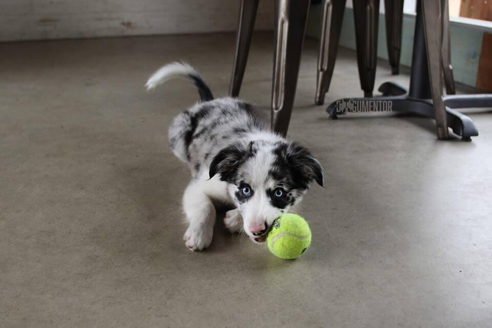 kongla oynayan köpek