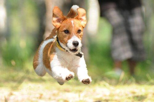 koşan teriyer köpeği