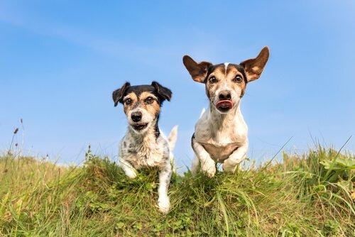 koşu yapan iki köpek