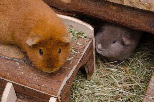 Guinea Pig beslemek