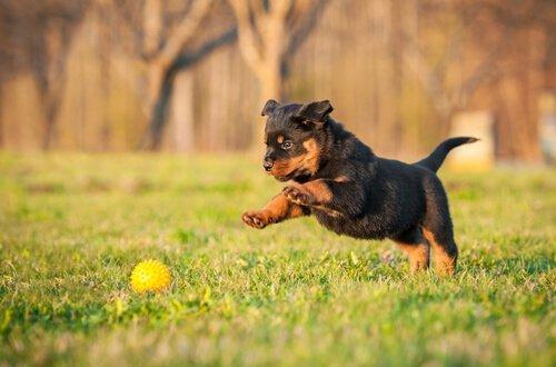 Rottweiler cinsi köpekler - köpek