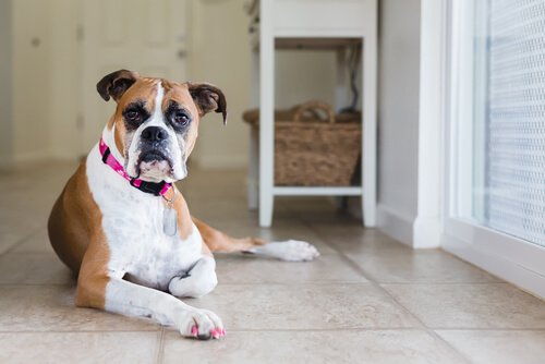 Dişi Köpeklerde Adet Dönemi İle Baş Etme Tavsiyeleri