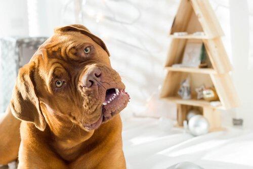 Neden Konuştuğunuzda Köpeğiniz Kafasını Yana Eğer?