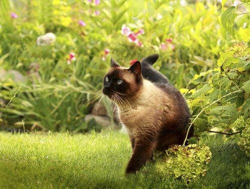 bahçede siyam kedisi
