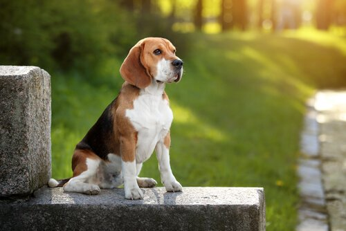 Beagle Cinsi Köpekler Hakkında Bilmeniz Gereken Her Şey