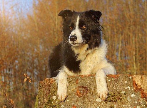 border collie cinsi köpek