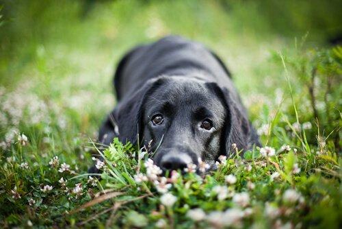 çimenlerde yatan siyah köpek