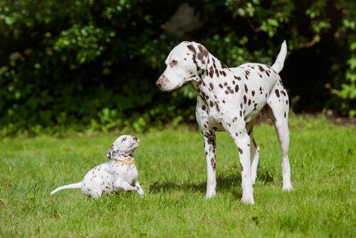 Dünyanın En Güzel Köpek Irkları
