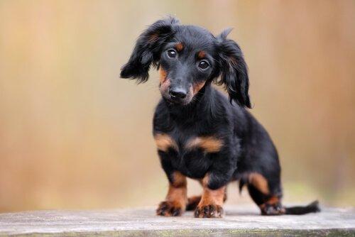 Sosis Köpek Olarak da Bilinen Dakhund Cinsi Köpekler