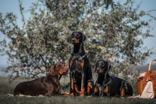 Göz Kamaştıran Eşsiz Köpekler – Doberman Pinscher