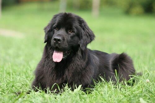 Dünyanın En Tembel Köpek Irkları