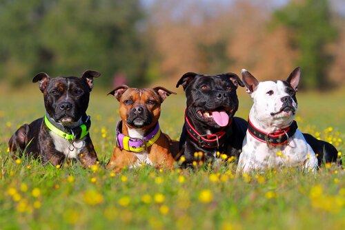 köpek ırkları