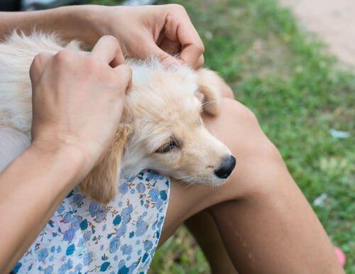 köpeklerin yaralarını tedavi
