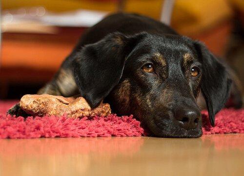 kırmızı halıda yatan köpek