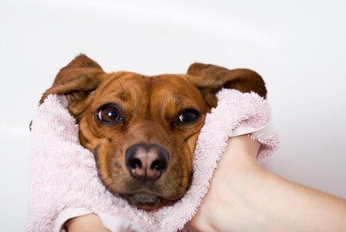 Köpeğinizin Burun Kuruluğu Ne Zaman Hastalığa İşaret Eder?