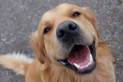 köpeklerde diş bakımı