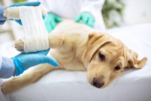 Evde Evcil Hayvanların Yaraları Nasıl Tedavi Edilir?