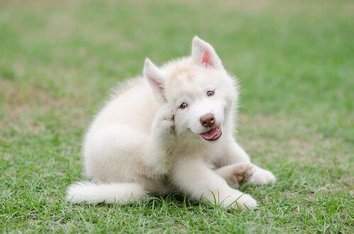 keneden kaşınan köpek