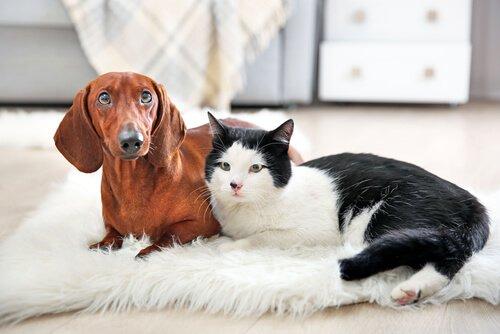 evde kedi ve köpek