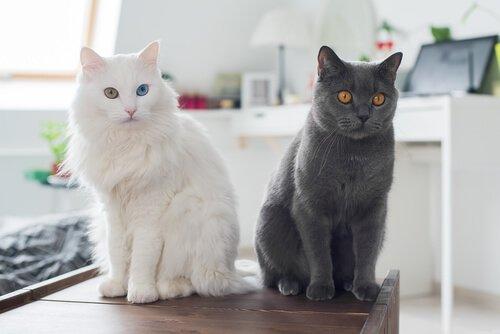siyah ve beyaz kedi