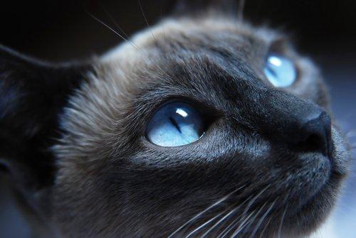 kızgın suratlı kedi