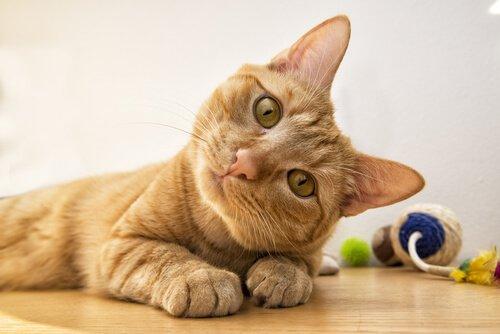 Kedilerin 6 Farklı Yüz İfadesi ve Anlamları