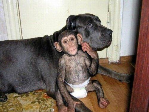 Kimsesiz Şempanzelere Bakan Köpek İle Tanışın