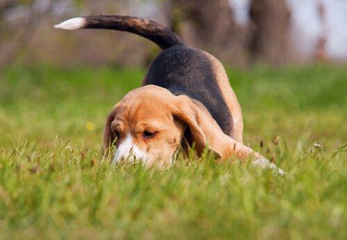 çimenleri koklayan beagle