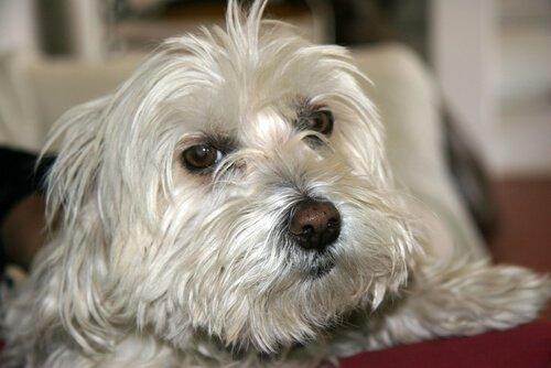Köpeğin Öksürük Tedavisi Nasıl Yapılır?