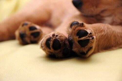 köpek patileri