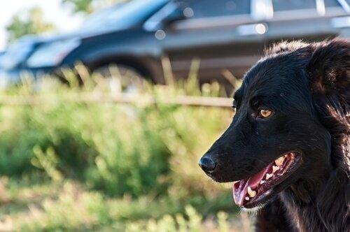 araba ve köpek