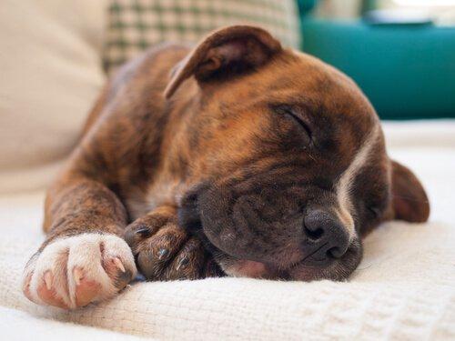 köpek rüyasında ne görür