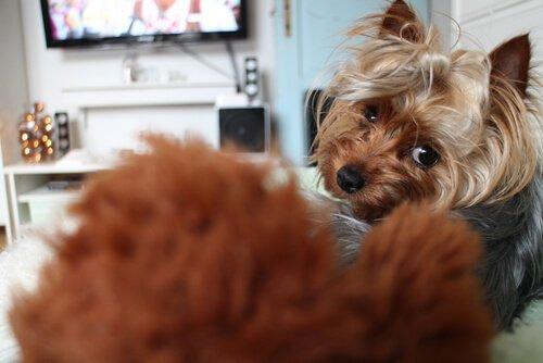 TV izleyen köpekler