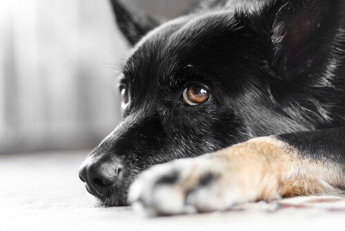 Köpeklerde Göz Titremesi Nedir Biliyor Musunuz?
