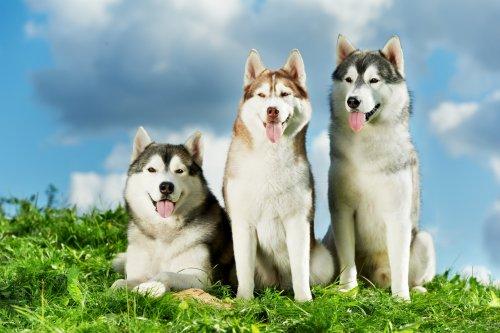 kurt köpekleri