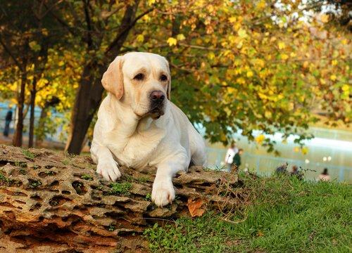 parkta dinlenen labrador