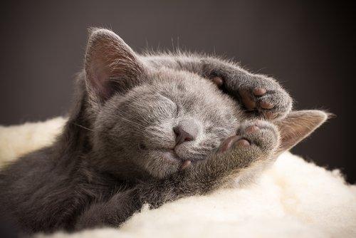 uyuyan mavi rus kedisi