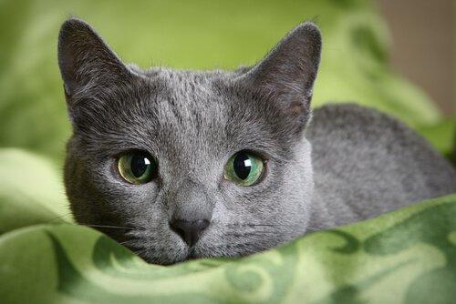 İşte Karşınızda Etkileyici Mavi Rus Kedisi