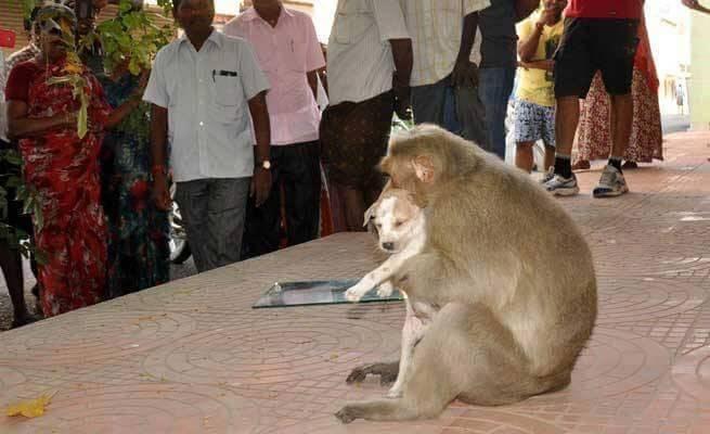 maymun kucağında köpek